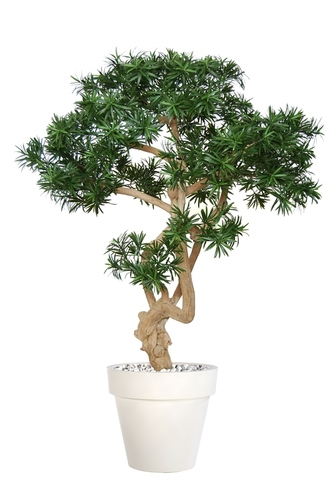 Podocarpus Crown 150 cm Green